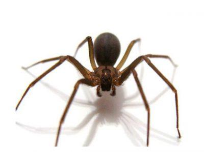 Araña de rincón en Chile